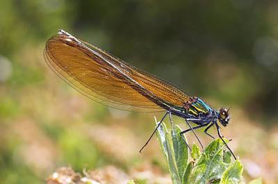 Virgo Photograph - Damselfly by Science Photo Library