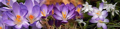 Early Spring Photograph - Details Of Early Spring And Crocus by Panoramic Images