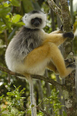 Diademed Sifaka Madagascar Print by Pete Oxford