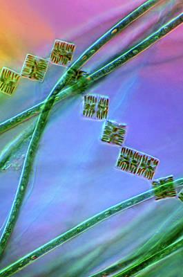 Diatoms And Cyanobacteria Print by Marek Mis