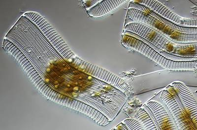 Diatoms, Light Micrograph Print by Science Photo Library