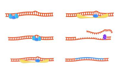 Replacing Photograph - Dna Repair Mechanism by Science Photo Library