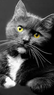 Of Cats Photograph - Domestic Gray And White Short Hair by Diana Angstadt