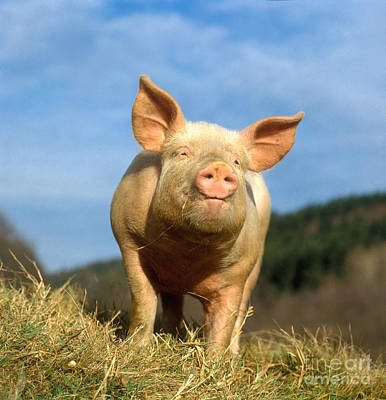 Pig Photograph - Domestic Pig by Hans Reinhard