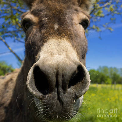 Donkey Photograph - Donkey by Bernard Jaubert