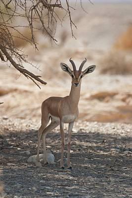 Dorcas Gazelle (gazella Dorcas) Print by Photostock-israel