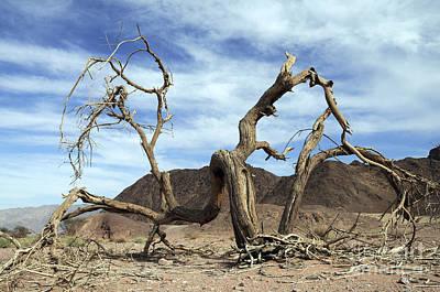 Dry Solitary Tree  Print by Efi Bar