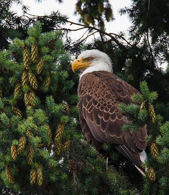 Fir Trees Photograph - Eagle by Angie Vogel
