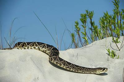 Eastern Diamondback Rattlesnake Print by Pete Oxford