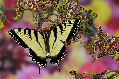 Blue Swallowtail Photograph - Eastern Tiger Swallowtail Papilio by Darrell Gulin