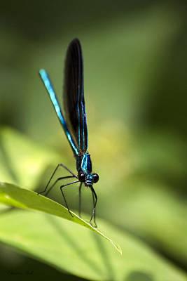 Macro Dragonfly Photograph - Ebony Jewelwing Damselfly by Christina Rollo