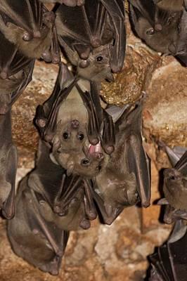 Bat Photograph - Egyptian Fruit Bat Rousettus Aegyptiacus by Photostock-israel