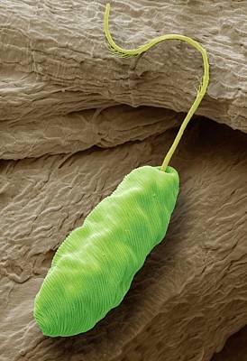 Single-celled Animal Photograph - Euglena Flagellate Protozoan by Steve Gschmeissner
