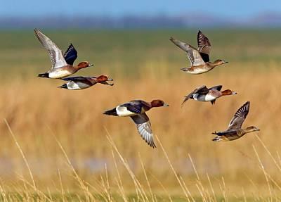 Ducks In Flight Photograph - Eurasian Wigeons by Bildagentur-online/mcphoto-schaef