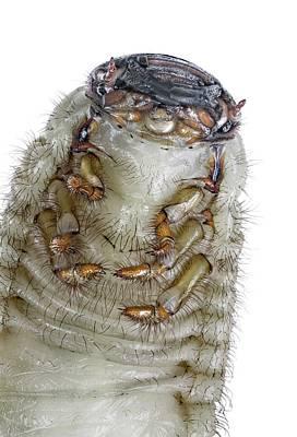 Rhinoceros Photograph - European Rhinoceros Beetle Larva by F. Martinez Clavel