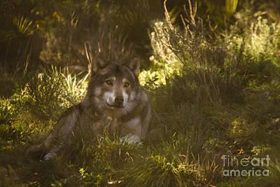 European Wolf Print by Angel  Tarantella