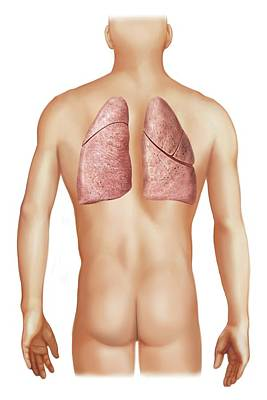 External Projection Of The Lungs Print by Asklepios Medical Atlas