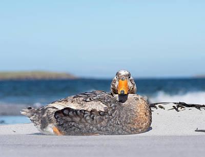 Drake Photograph - Falkland Flightless Steamer Duck by Martin Zwick