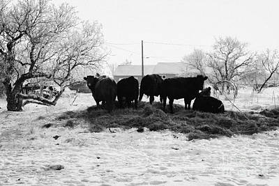 Harsh Conditions Photograph - feed and fresh grass laid out for cows on winter farmland Forget Saskatchewan Canada by Joe Fox