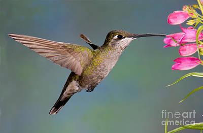 Magnificent Hummingbird - Eugenes Fulgens Photograph - Female Magnificent Hummingbird At Flower by Anthony Mercieca