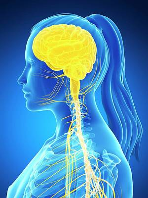 Human Brain Photograph - Female Nervous System by Sebastian Kaulitzki