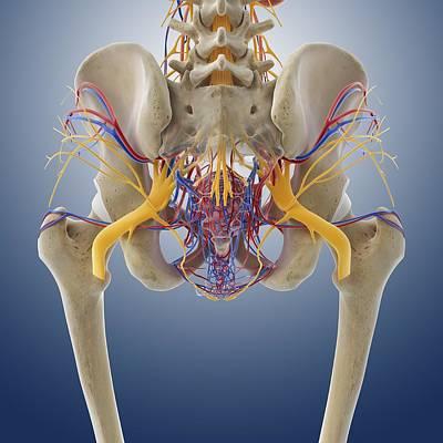 Female Pelvic Anatomy, Artwork Print by Science Photo Library