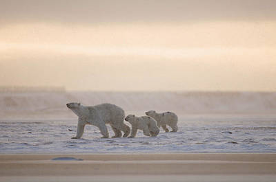 Female Polar Bear With A Pair Of Cubs Print by Steven Kazlowski