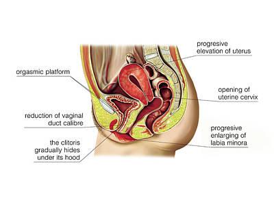 Vagina Photograph - Female Sexual Response by Asklepios Medical Atlas