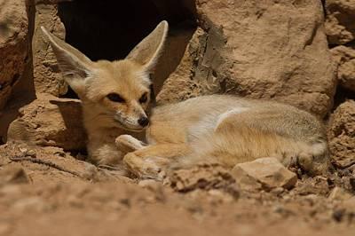 Large Mammals Photograph - Fennec Fox by Photostock-israel