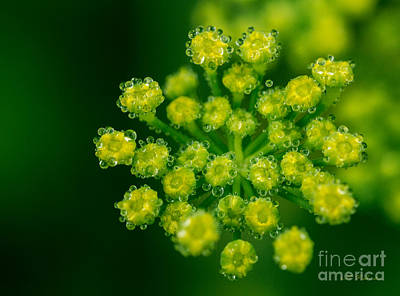 Fennel Bloom Foeniculum Vulgare Print by Iris Richardson