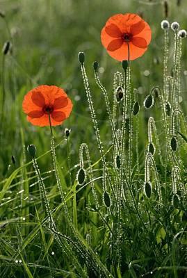 Field Poppy (papaver Rhoeas) Flowers Print by Bob Gibbons