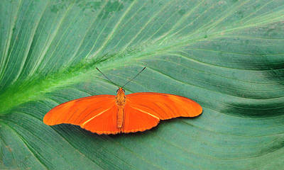 Central American Wildlife Photograph - Flambeau Butterfly by Nigel Downer
