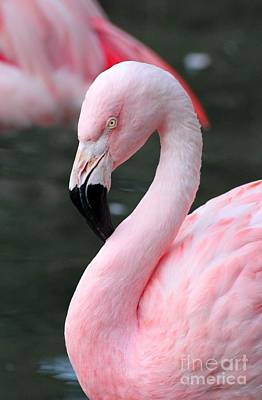 Birds Photograph - Flamingo by April Antonia