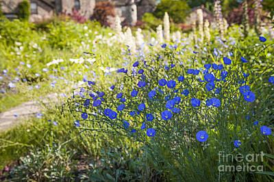 Flax Flowers In Summer Garden Print by Elena Elisseeva