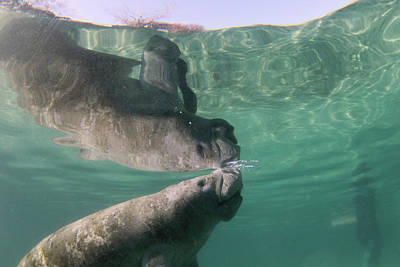 Manatees Photograph - Florida Manatee Taking Air At Surface by Michael Szoenyi