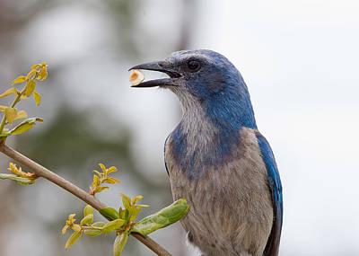 Bird Photograph - Florida Scrub Jay by Phil Stone