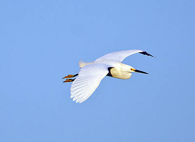 Ibis Photograph - Florida, Venice, Snowy Egret Flying by Bernard Friel