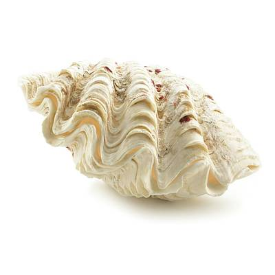 Fluted Giant Clam Shell Print by Science Photo Library