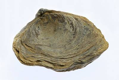 Fossilised Extinct Jurassic Oyster Print by Sinclair Stammers