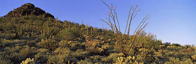 Mountain Scape Photograph - Fouquieria Splendens Cactus Plants by Panoramic Images