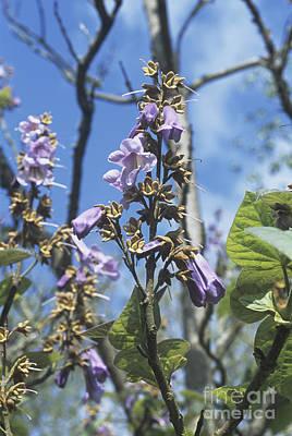 Foxglove Flowers Photograph - Foxglove Tree Paulownia Fortunei by Adrian Thomas