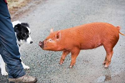 Fat Dog Photograph - Free Range Pig by Ashley Cooper