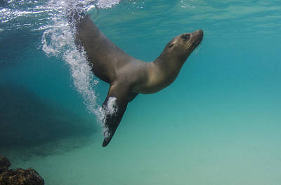 Sea Lion Photograph - Galapagos Sea Lion Swimming Ecuador by Pete Oxford