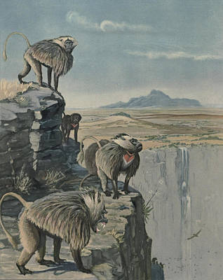 Gelada Baboon Print by Louis Agassiz Fuertes