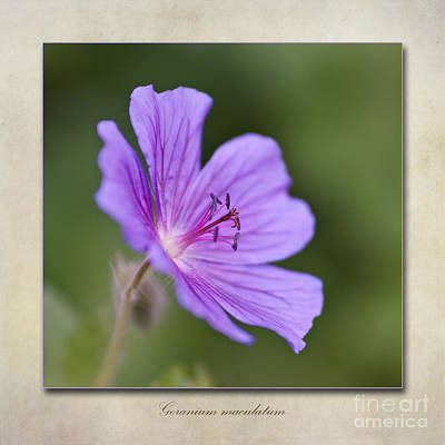 Macro Digital Art - Geranium Maculatum by John Edwards