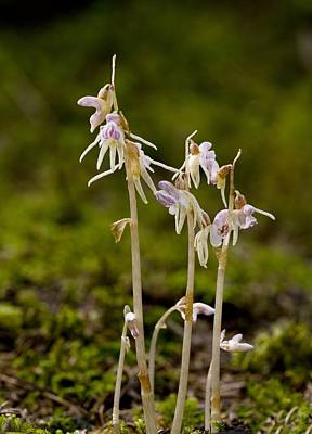 Ghost Orchid (epipogium Aphyllum) Print by Science Photo Library