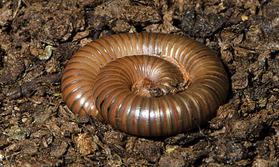 Giant African Millipede Print by Nigel Downer