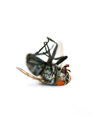 Ailing Photograph - Giant Dead Fly by Jorgo Photography - Wall Art Gallery
