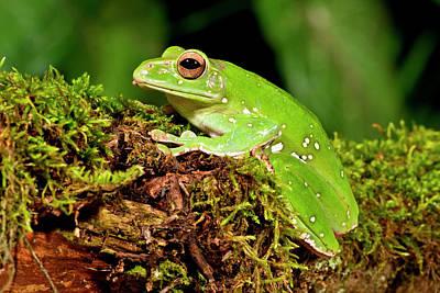 Giant Gliding Treefrog, Polypedates Sp Print by David Northcott