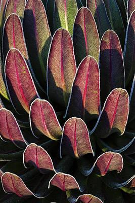 Lobelia Photograph - Giant Lobelia (lobelia Lanuriensis by Martin Zwick